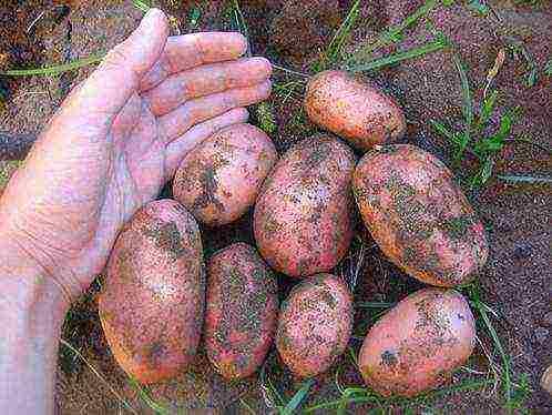Сорт картофеля «тайфун»: характеристика, описание, урожайность, отзывы и фото
