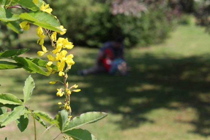 Жёлтая сирень примроуз (primrose): описание сорта, фото, посадка и уход