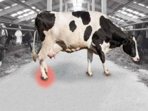 Мокрец у коровы признаки и лечение