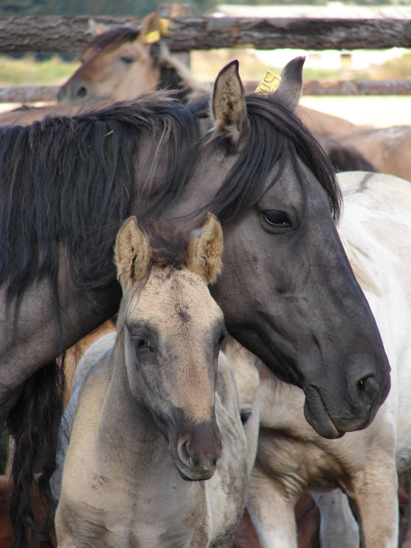 Особенности использования башкирской лошади