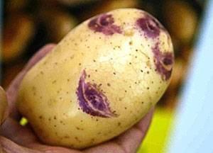 Картофель синеглазка: описание сорта, выращивание и уход