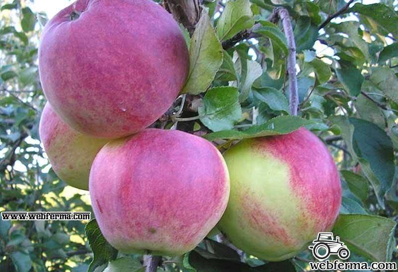 Яблоня серебряное копытце: описание с фото, отзывы, посадка и уход