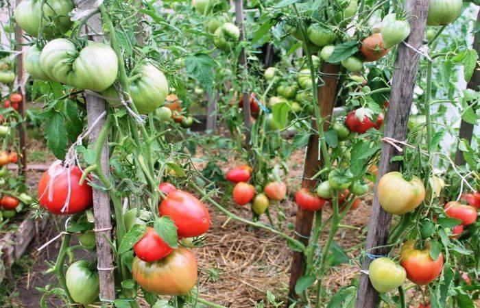 Северный томат – великан севрюга