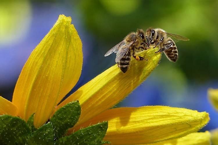Как объединить пчелиные семьи