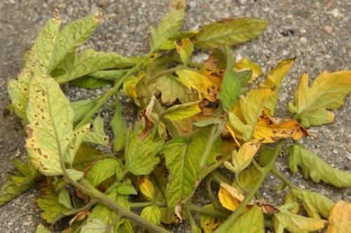 На заметку дачникам: почему желтеет рассада помидоров?
