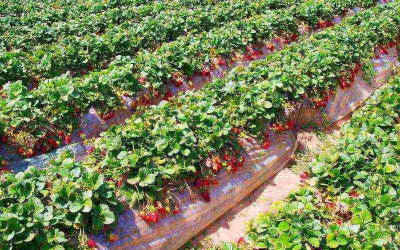 Как сажать клубнику в августе