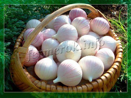 Острый и урожайный: чеснок «юбилейный грибовский» для посадки под зиму