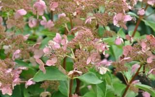 Сорта древовидной гортензии: описание и выращивание