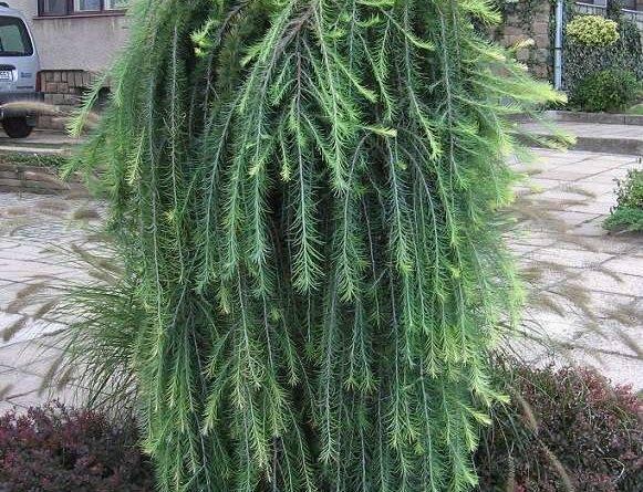 Лиственница (40 фото): как выглядит дерево и листья? «пендула», даурская, гмелина и другие виды, белый налет и другие болезни