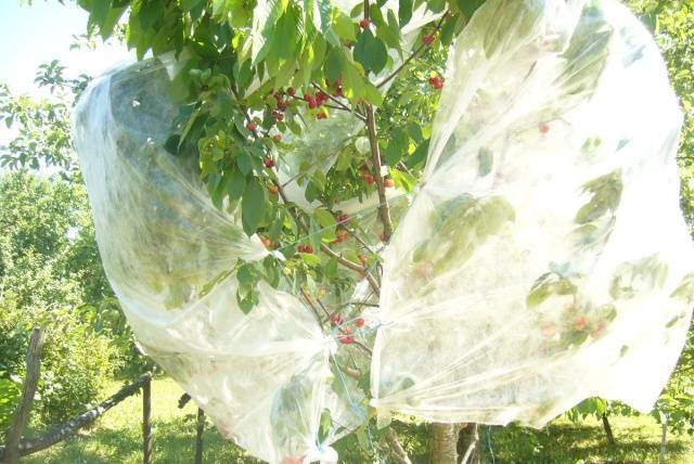 Как защитить черешню (уберечь урожай) от скворцов, воробьев, дроздов