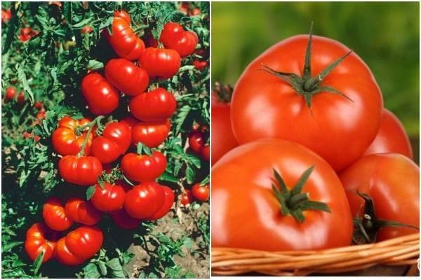 Проверенный всеми томат «кумир»: описание сорта и секреты выращивания помидоров