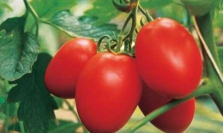 Как вырастить помидоры в открытом грунте в подмосковье