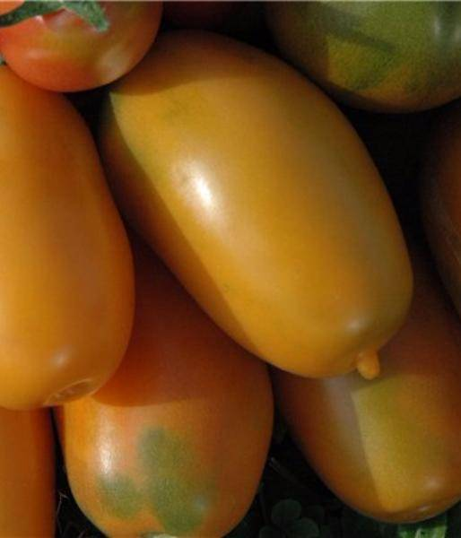 Правила выращивания томата хохлома