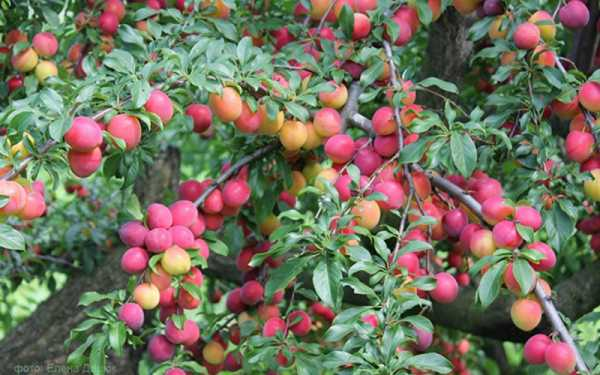 Алыча найдёна: особенности выращивания урожайного сорта
