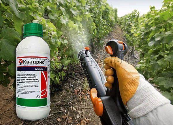 Препарат квадрис: как разводить и применять для защиты растений от болезней