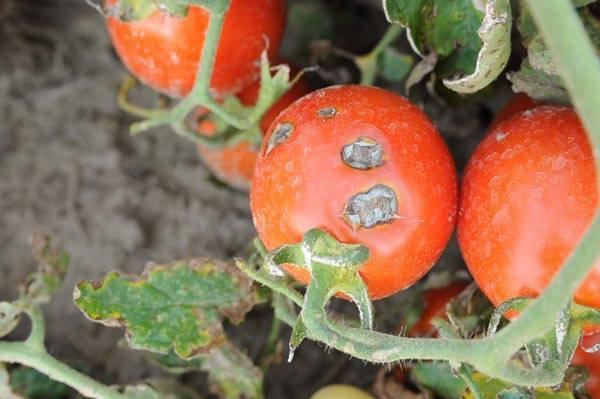 Боремся с фитофторой на помидорах с помощью народных средств