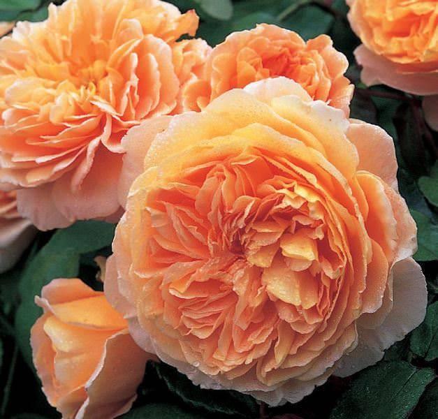 Прекрасная роза абрахам дерби в вашем саду