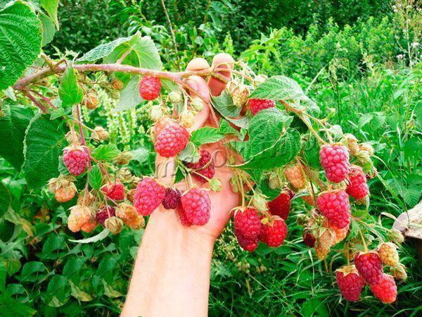 Малина бриллиантовая – ремонтантный сорт с красно-рубиновыми ягодами
