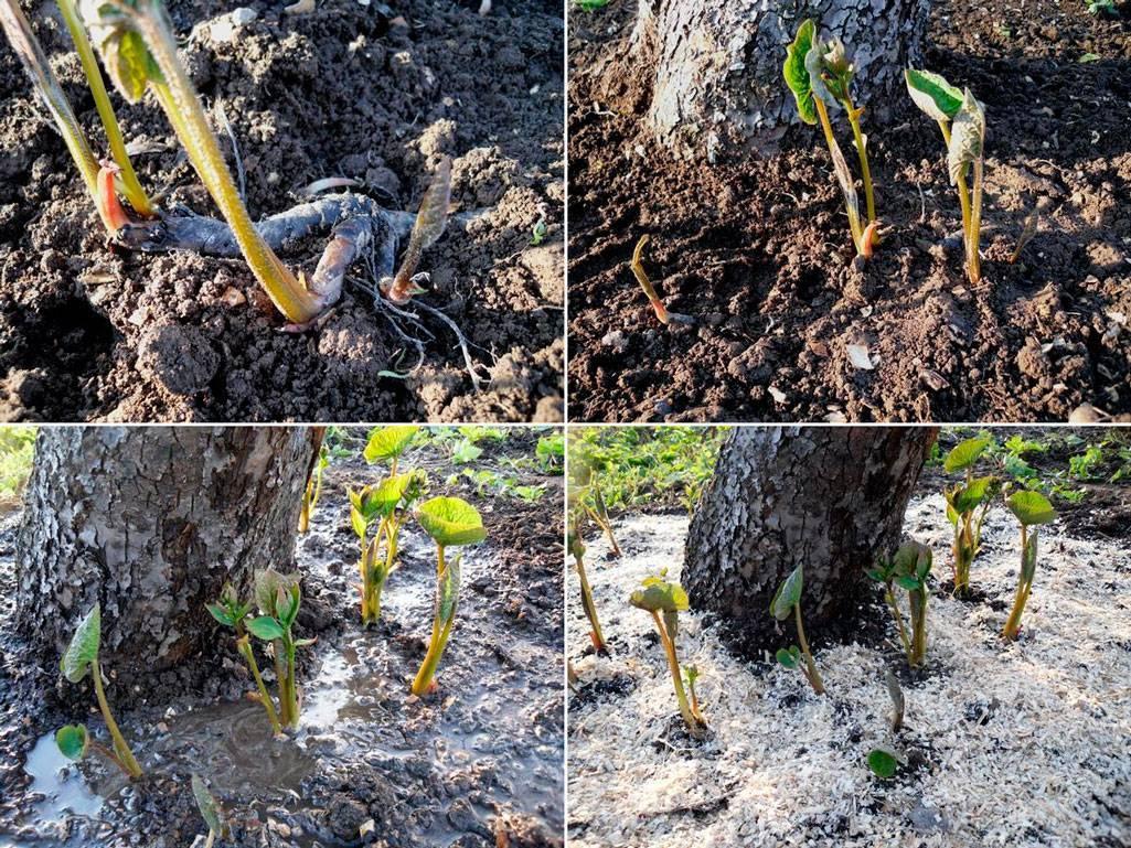 Садовое растение бруннера: фото и описание видов и сортов