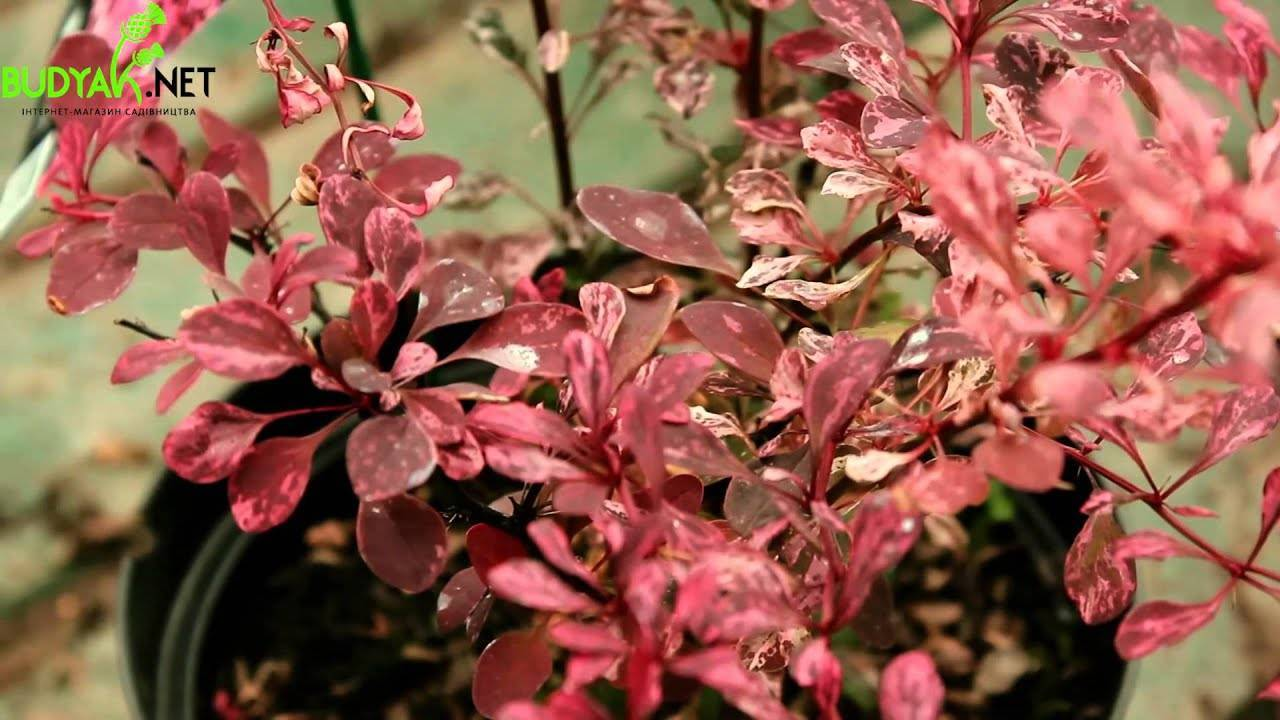 Барбарис тунберга роуз глоу (berberis thunbergii rose glow)