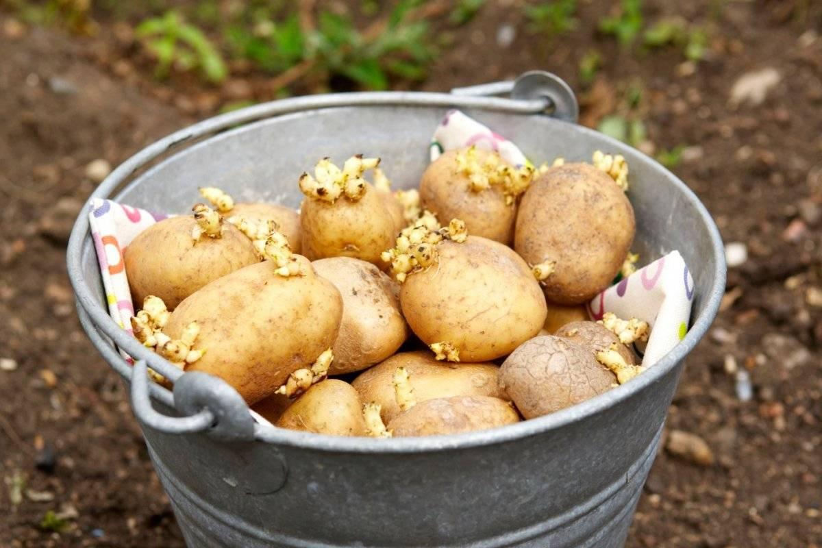 Как и когда проращивать картофель на посадку