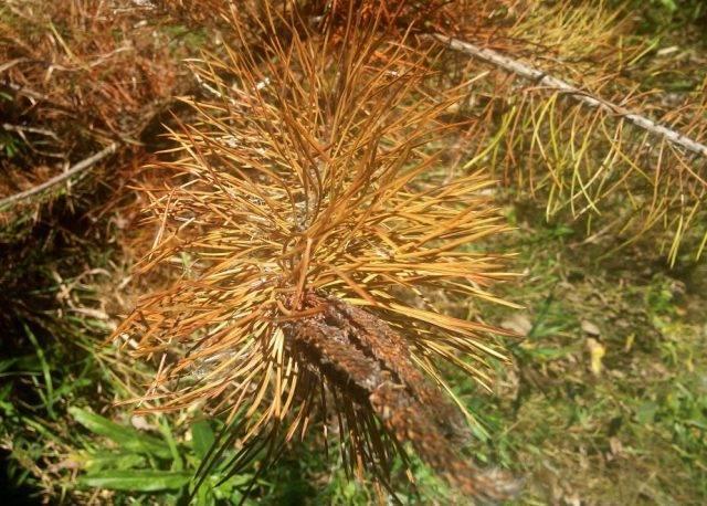 Как вырастить сосну из семян – от посадки до ухода
