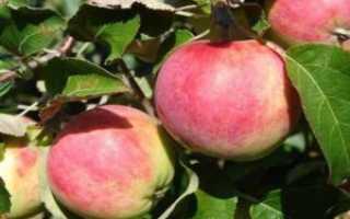 Яблоня «слава победителям» — описание, посадка и уход