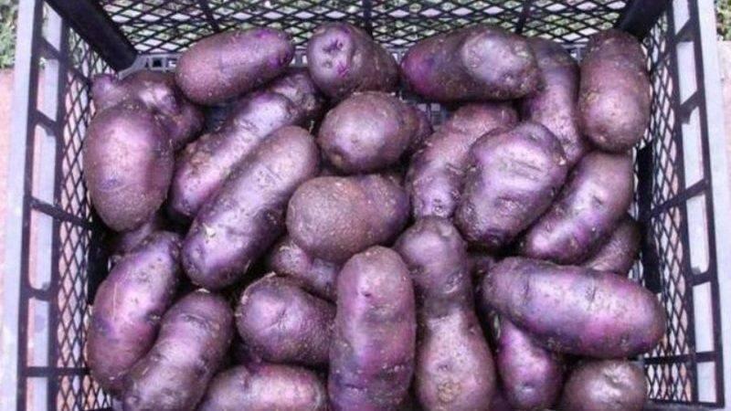 Перспективный голландец — сорт картофеля «ред фэнтези»: характеристика и описание сорта