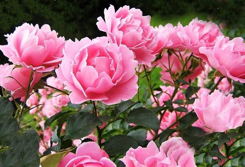 Подкормка пионов весной: чем лучше удобрить для пышного цветения