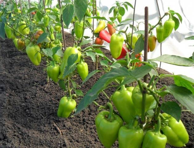 Перец геркулес f1: описание, особенности выращивания