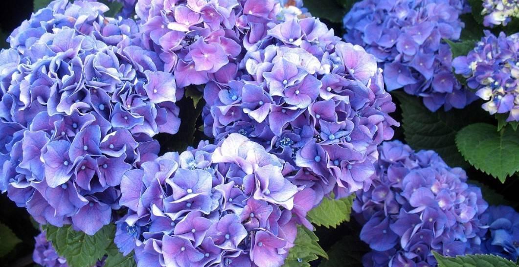 Гортензия — как ухаживать и выращивать в домашних условиях