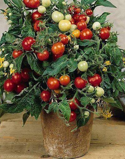 Гибрид помидора «линда f1»: фото, видео, отзывы, описание, характеристика, урожайность