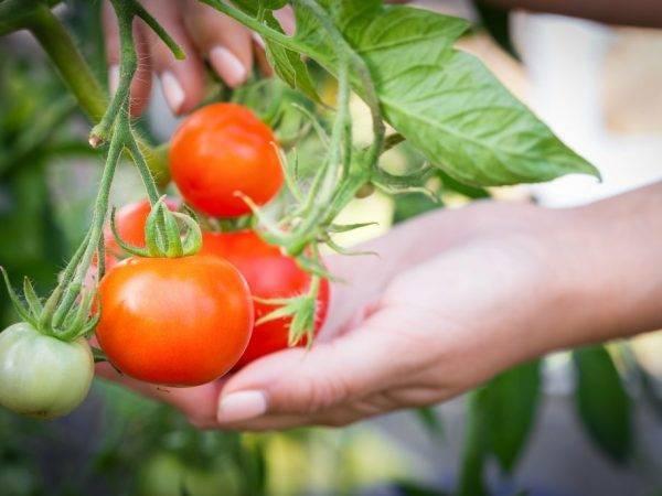 Дрожжевая подкормка для помидор. 7 рецептов подкормки помидор дрожжами. | красивый дом и сад