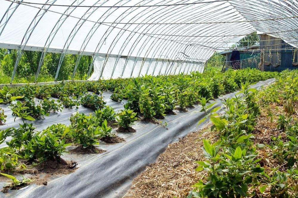 Выращивание артишока от высадки рассады до уборки урожая