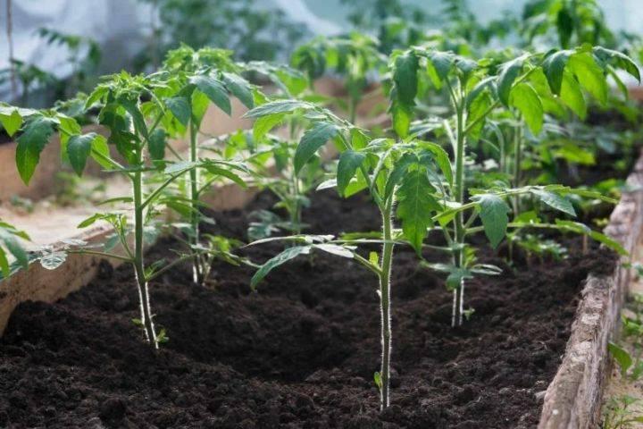 Как и чем подкормить помидоры после высадки в грунт: лучшие народные рецепты и обзор готовых составов