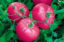 Сорт томата «микадо красный»: описание, характеристика, посев на рассаду, подкормка, урожайность, фото, видео и самые распространенные болезни томатов