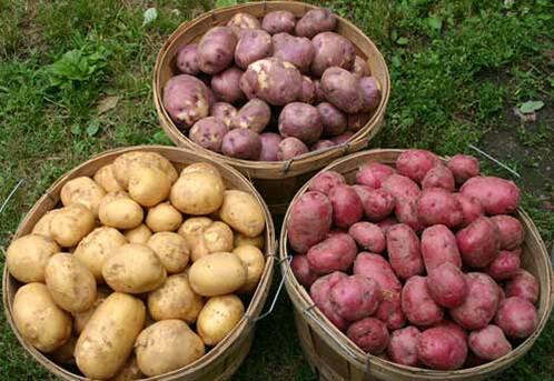 Картофель красавчик характеристика сорта