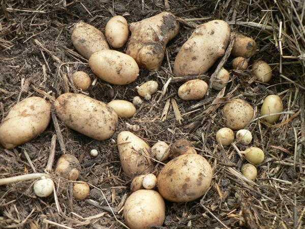 Необычный сорт с красивыми синими клубнями — картофель индиго: описание и характеристика