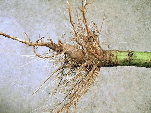 Что лечит корень подсолнуха, и как его правильно применять?