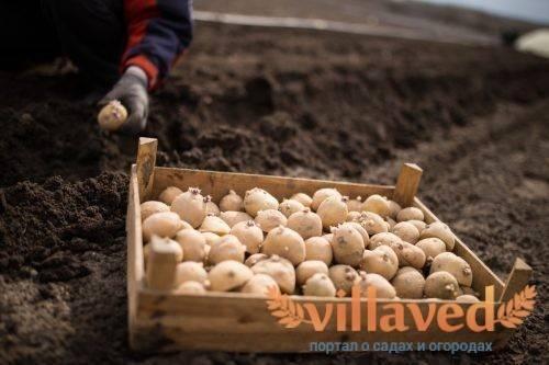 Преимущества и правила обработки картофеля перед посадкой