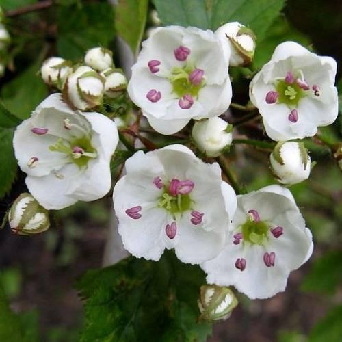 Свойства боярышника – изучаем пользу и вред растения