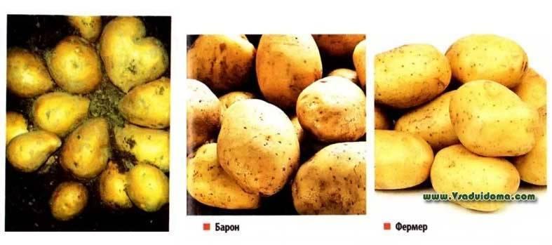 Картофель берлинка — описание сорта, фото, отзывы, посадка и уход
