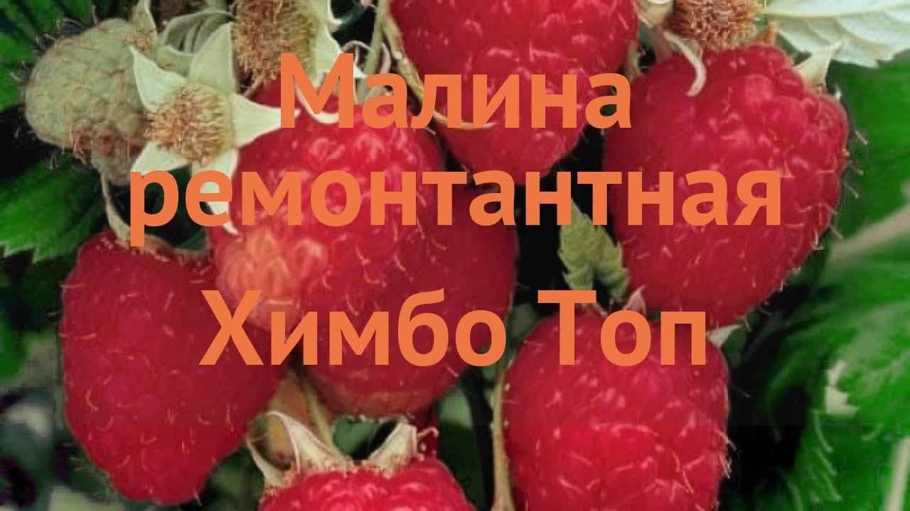 Малина «химбо-топ»: характеристика сорта и рекомендации по выращиванию