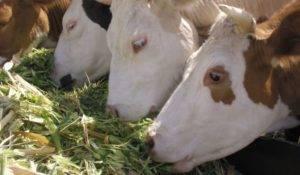 Почему горчит молоко у коровы именно зимой – причины и факторы ухудшения вкуса, влияние содержания и решение проблем