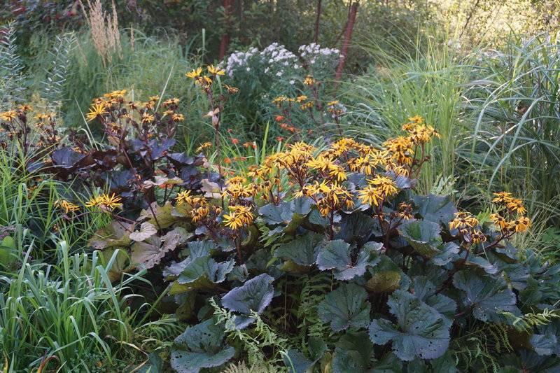 Бузульник (57 фото): посадка и уход в открытом грунте, описание и выбор для водоема, лигулярия в ландшафтном дизайне на клумбе, размножение и пересадка в саду осенью