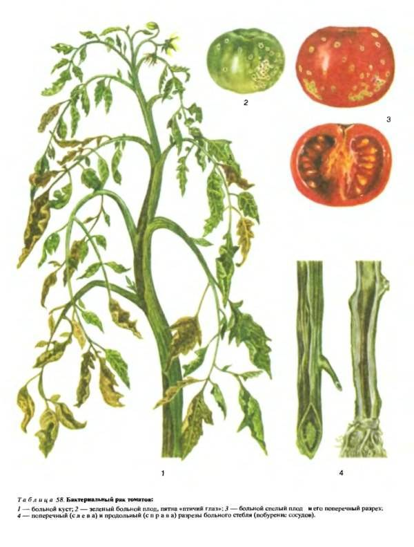 Почему у помидоров скручиваются листья и как с этим бороться, что делать