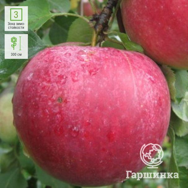 Нарядные яблони с высоким иммунитетом — сорт рождественский