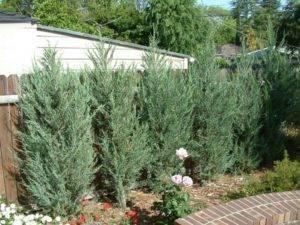 Можжевельник скальный скайрокет (juniper scopulorum skyrocket): описание, посадка и уход