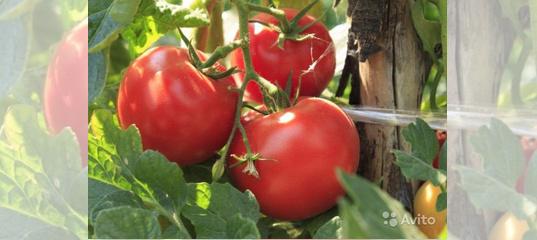 Томат волгоградский: описание, выращивание