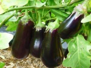 Баклажан черный принц: описание сорта, фото, выращивание, отзывы
